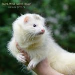 Nord-West Ferret Изнаир