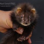 Nord-West Ferret Пиксель
