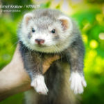 Nord-West Ferret Краков