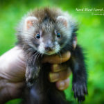Nord-West Ferret Левон