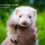 Nord-West Ferret Остин