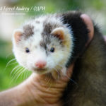 Nord-West Ferret Одри