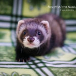 Nord-West Ferret Николя