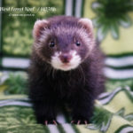 Nord-West Ferret Ноэль