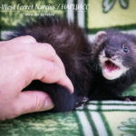 Nord-West Ferret Нарцисс