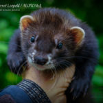Nord-West Ferret Леопольд