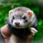 Nord-West Ferret Катания