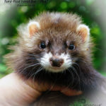 Nord-West Ferret Ибар