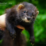Nord-West Ferret Зуль