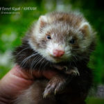Nord-West Ferret Кигали