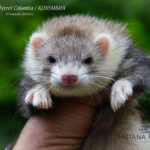 Nord-West Ferret Колумбия