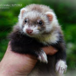 Nord-West Ferret Корсика