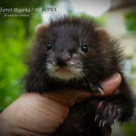 Nord-West Ferret Майорка