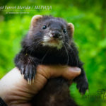 Nord-West Ferret Мерида