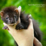 Nord-West Ferret Пижон