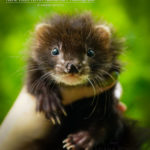 Nord-West Ferret Настурция