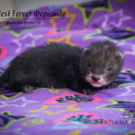 Nord-West Ferret Фернандо