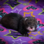Nord-West Ferret Флоризель