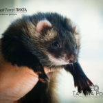 Nord-West Ferret Пихта