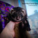 Nord-West Ferret Примадонна