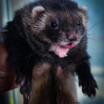 Nord-West Ferret Поцелуй