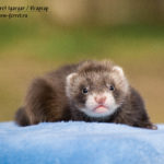 Nord-West Ferret Игаргар