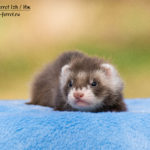 Nord-West Ferret Иж