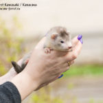 Nord-West Ferret Кавасаки