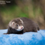 Nord-West Ferret Киото